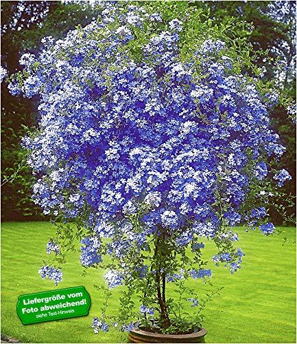 BALDUR Garten Zierstrauch Plumbago, 2 Pflanzen Bleiwurz Plumbago auriculata Kübelpflanze für...