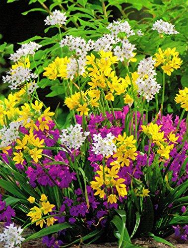 Allium-Mix - 20 Blumenzwiebeln