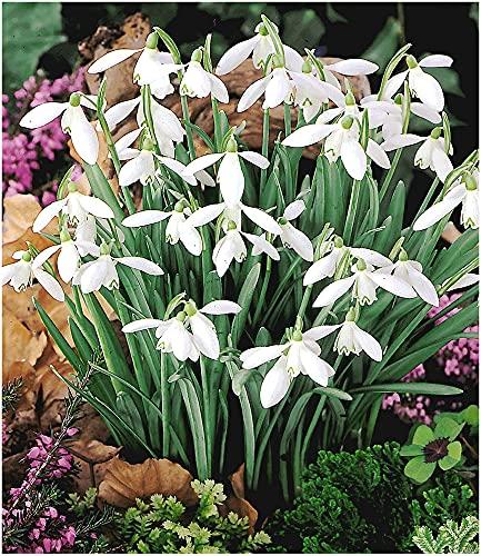 BALDUR Garten Schneeglöckchen, 50 Zwiebeln Galanthus nivalis