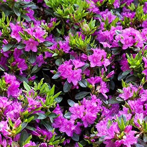 Rhododendron obt. 'Königstein' Japanische Azalee 20-25cm im Topf gewachsen
