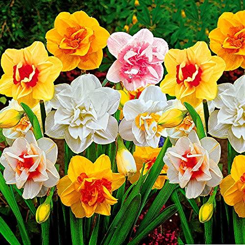 25x Narcissus | 25er Mix Blumenzwiebeln Narzissen | Osterglocken Zwiebeln | Blumenzwiebeln...
