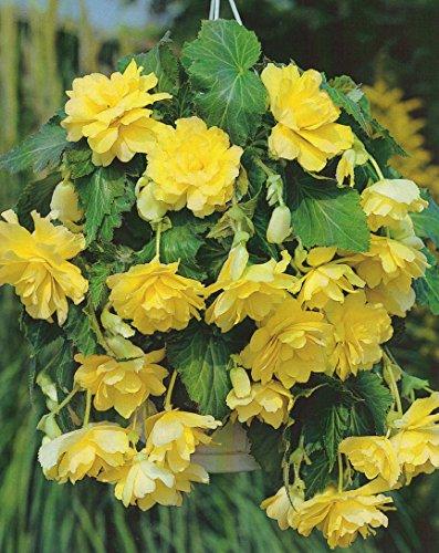 Begonien pendula hängend in gelb gefüllt Blumenzwiebeln Knollenbegonie (5 Blumenzwiebeln)