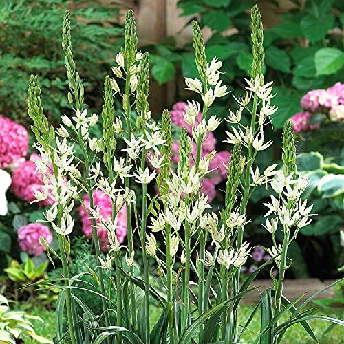 6x Camassia leichtlinii 'Alba'   6er Set Prärielilien Zwiebeln   Weiße Blüte   Blumenzwiebeln...