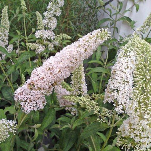 Zwerg-Schmetterlingsflieder Reve de Papillon White® - Sommerflieder (Buddleja) Pflanze in weiß,...