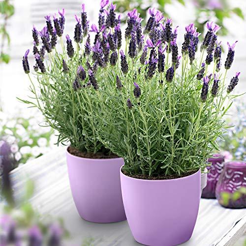 3x Lavandula stoechas Anouk | Lavendel Pflanze | Winterharte Stauden | Höhe 20-30cm | Topf-Ø12cm