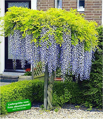 BALDUR Garten Blauregen auf Stamm winterhartes Stämmchen, 1 Pflanze Wisteria sinensis Glycinie...