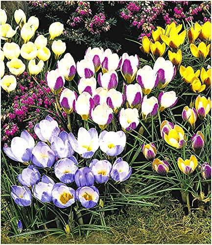 BALDUR Garten Wildkrokusse, 100 Zwiebeln, Botanische Krokusse Prachtmischung, Crocus chrysanthus Mix