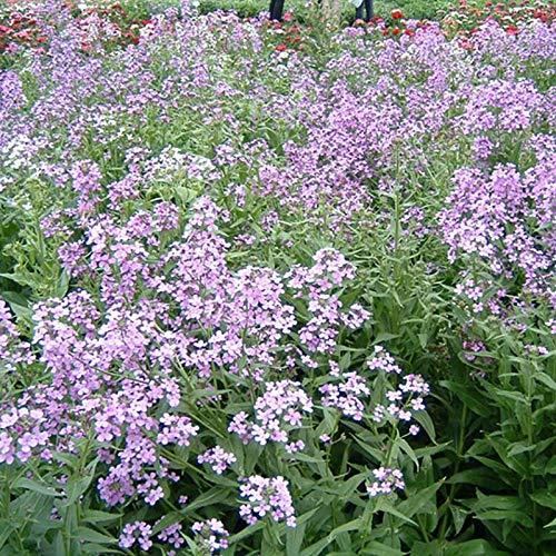 XINDUO Samen für Hausgarten,Gartenbaupflanze Blue Fragrant Senf Blumensamen-200 Kapseln,Frühling...