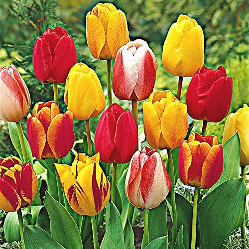 30x Tulipa   Darwin Hybriden   30er Mix Tulpen   Blumenzwiebeln Ø 10-11cm