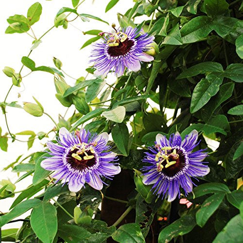 Future Exotics Passionsblume Lila - Weisse Blüte Passiflora Hybride winterhart