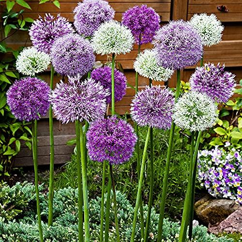 15x Allium caeruleum 'Fantasia' | 15er Mix Zierlauch | Zierlauch Zwiebel winterhart | Allium...