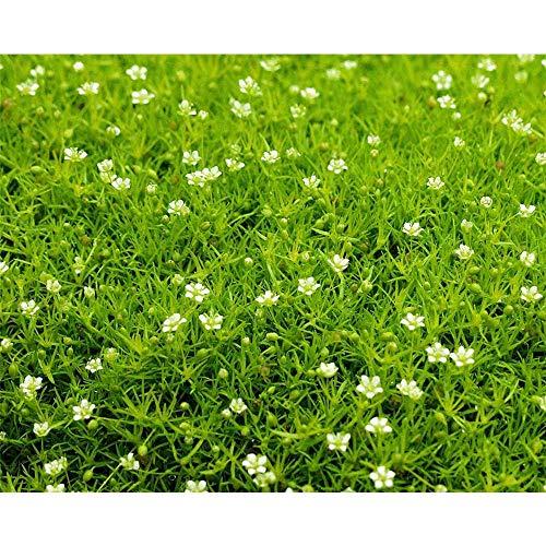 Sagina 'Scottish Moos', hellgrün - Sternmoos winterhart, im Topf 12 cm, in Gärtnerqualität von...