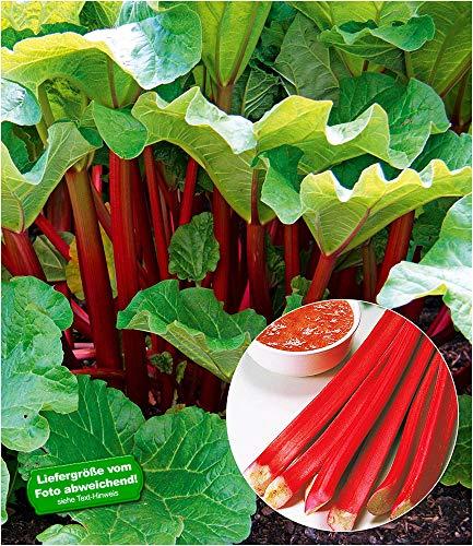 BALDUR Garten Immertragende Rhabarber Pflanze Livingstone immertragend, 1 Pflanze Rhabarberstaude...