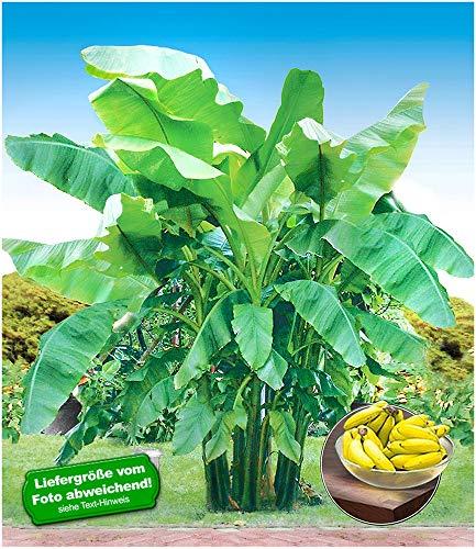 BALDUR-Garten Winterharte Bananen 'grün' Faserbanane Bananenbaum, 1 Pflanze Musa basjoo...