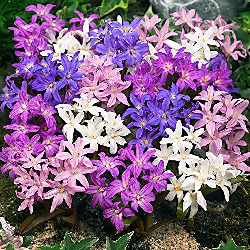 40x Chionodoxa forbesii   40er Mix Schneeglanz   Blumenzwiebeln Frühblüher   Ø 4-5cm