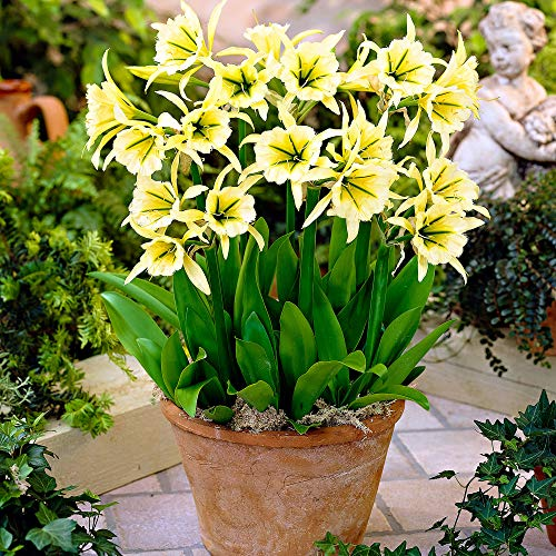 3x Hymenocallis'Sulphur Queen' | Gelbe Blüten | Sommerblüher Blumenzwiebeln Winterhart | 14-16 cm