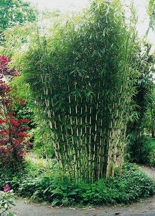 Horstbildender Bambus'Pingwu' (Fargesia robusta) - Winterharte Bambus-Pflanze ohne Ausläufer von...