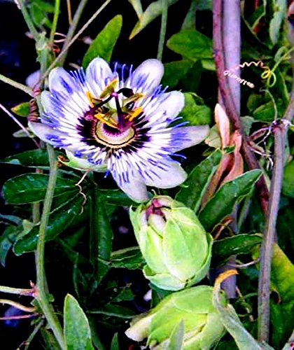 Future Exotics Passionsblume Passiflora caerulea winterhart im Topf