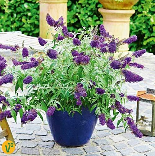 Qulista Samenhaus - Selten Bienenweide Blau Schmetterlingsstrauch Summer Bird® 'Blue' duftend für...