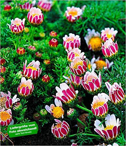 BALDUR Garten Winterharter Bodendecker Afrikanisches Ringkörbchen, 3 Pflanzen Anacyclus depressus