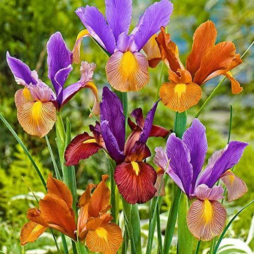 30x Iris hollandica'Tiger' | 30er Mix Holländische Schwertlilien | Schwertlilien Zwiebeln | Iris...