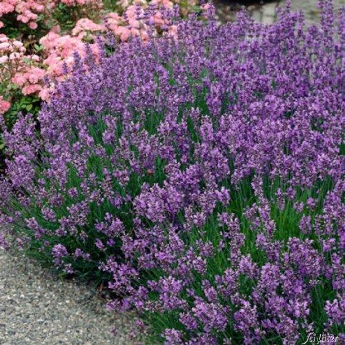 Lavendel 'Munsteadt' – Lavandula angustifolia - 1 winterharte Pflanze im 3 Liter Container mit...