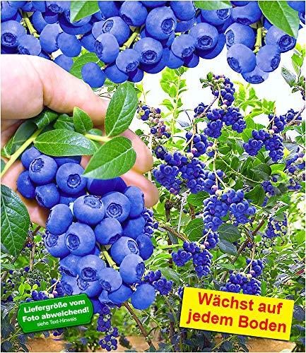 BALDUR Garten Trauben-Heidelbeere 'Reka® Blue', 1 Pflanze, Blaubeeren Heidelbeeren Pflanze,...