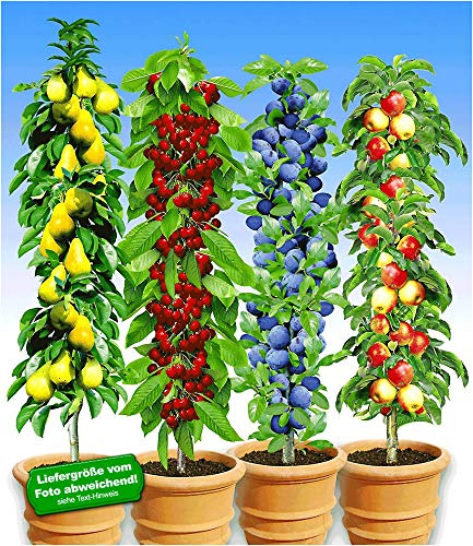 BALDUR-Garten Säulen-Obst-Kollektion Birne, Kirsche, Pflaume & Apfel, 4 Pflanzen als Säule...