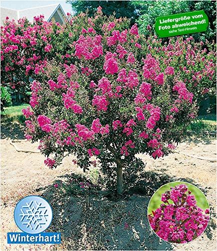 BALDUR Garten Flieder des Südens, 1 Pflanze Lagerstroemia Indica Kreppmyrte winterhart