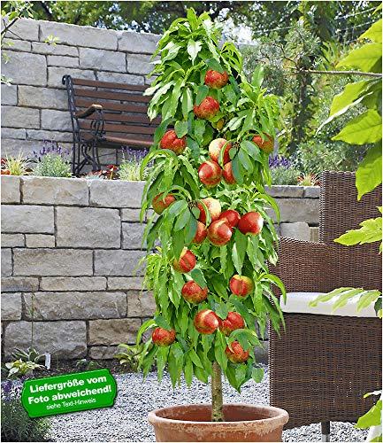 BALDUR Garten Säulen-Nektarine 'Licecol®', 1 Pflanze, Nektarinenbaum, Prunus persica
