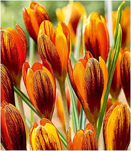 BALDUR-Garten Krokus Orange Monarch,15 Zwiebeln