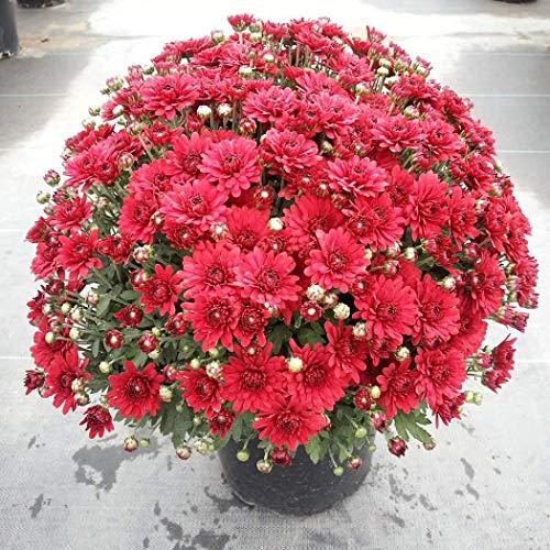 begorey Garden - Mini Chrysantheme Samen 100 Stk. Mehrjährige Bonsai Blumen Pflanzensamen