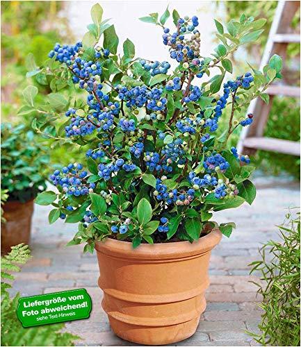 BALDUR-Garten Topf-Heidelbeere Blaubeeren Heidelbeeren Pflanze, 1 Pflanze Vaccinium corymbosum...