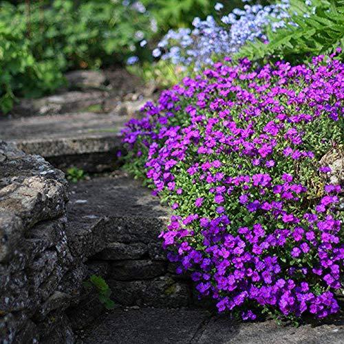 Promworld Blumensamen Bunte,Arabidopsis thaliana Samen-ausgezeichnet_30 südliche...