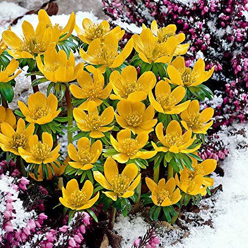 25x Eranthis cilicica   25er Set Winterlinge Zwiebeln   Gelbe Blüte   Blumenzwiebeln Frühblüher  ...