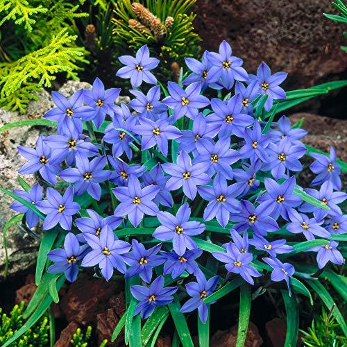 Frühlingsstern 'Jessje' Ø 4/+ - 25 Stück Blumenzwiebeln, Direkt von holländischem Boden
