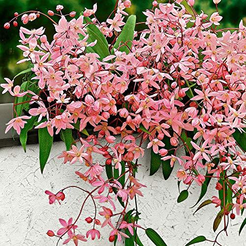 Clematis armandii Apple Blossom | Immergrüne Clematis Rosa | Kletterpflanzen Winterhart...