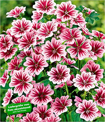 BALDUR Garten Stauden-Malve Zebrina winterhart, 3 Pflanzen Malvenpflanze