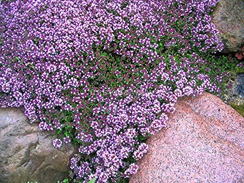 Sand-Thymian - Thymus serpyllum - 10000 Samen