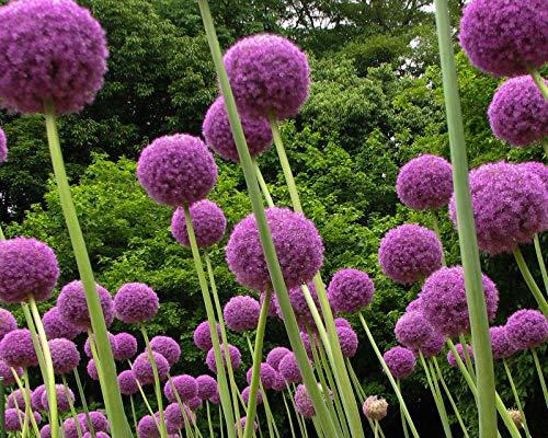 Begorey 30 Stück Riesen Zierlauch (Allium giganteum) Samen Exotic Blumenzwiebeln Saatgut winterhart...