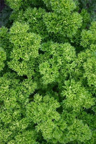 JustSeed - Petersilie - Champion Moss Curled - 2500 Samen
