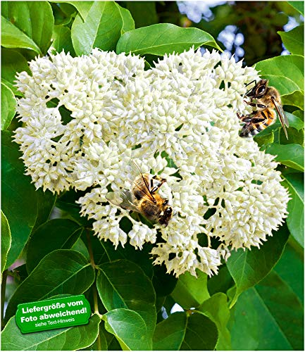 BALDUR-Garten Bienenbaum - Tausendblütenstrauch,1 Pflanze Tetradium daniellii, Euodia hupehensis,...