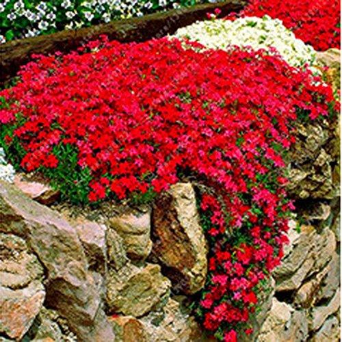 Yukio Samenhaus - 100 Stück Alpen-Gänsekresse (Arabis alpina) bienenfreundliche Blumensamen...