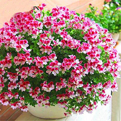 begorey Garten - Geranium Samen 20 Stk. Zitronenduft Pelargonium Anti Moskito und Fliegen Duftende...