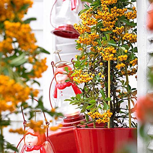 Pyracantha coccinea 'Soleil d'Or' | Feuerdorn Gelb | Heckenpflanzen Kletterpflanzen Winterhart |...