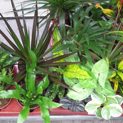 Mühlan Topartikel- 6 getopfte Zimmerpflanzen in Gärtnerqualität, Grünpflanzenmix mindestens 3...