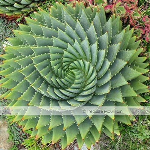 Pinkdose2018 Heißer Verkauf Aloe Polyphylla Samen, professionelle Pack, 1 Samen/Pack, Spirale...
