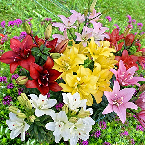 5x Lilum asiaticum | 5 Stück Asiatische Lilien Zwiebeln Winterhart | Farbmischung | Blumenzwiebeln...