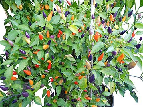 Numex Twilight 10 Samen *Mini-Chili* mit sehr guten Ertrag WOW ''' Ähnliches Farbspektakel wie die...