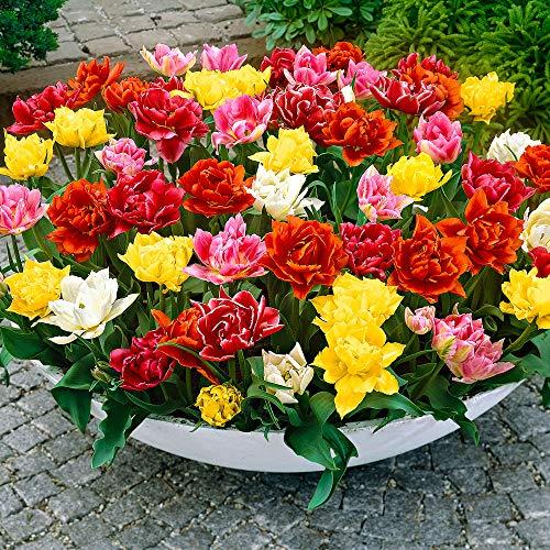 Tulipa | 25er Mix Tulpen | Gefülltblühend | Blumenzwiebeln Ø 10-11cm